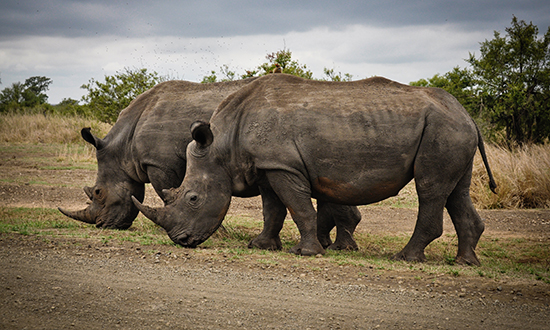 South-African-Wildlife-Rhino